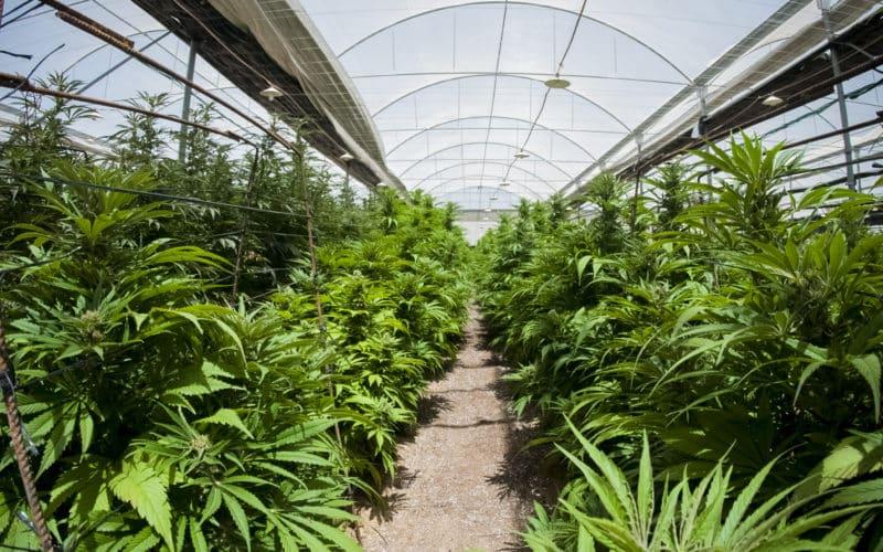 Cannabis : comprendre la culture greenhouse