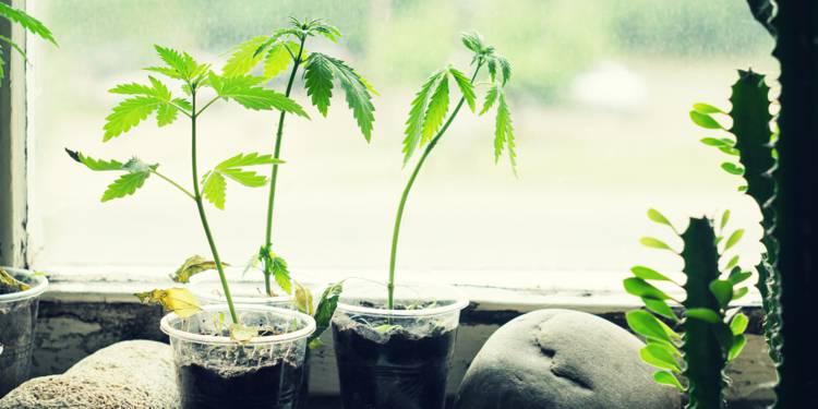 Cannabis : comprendre la culture indoor