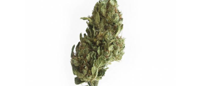 LEMON HAZE 9,2% - Fleurs de CBD