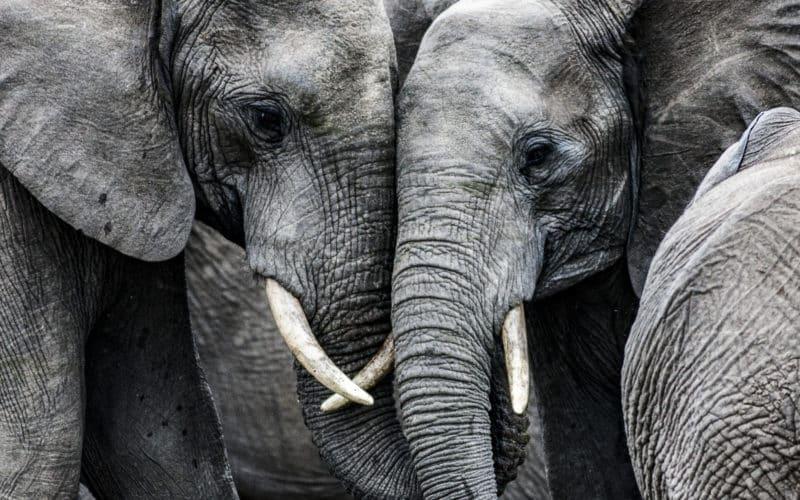 Du cannabis médical pour calmer des éléphants