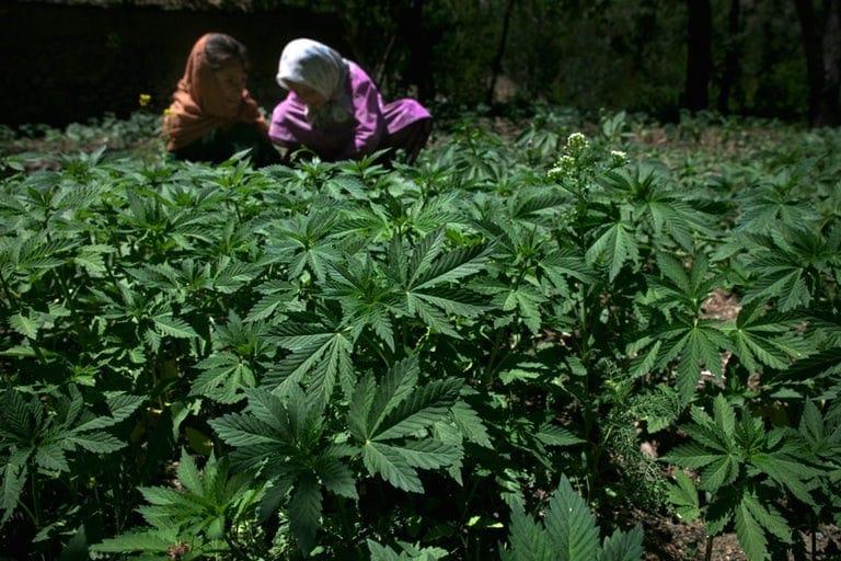 Producteurs de cannabis