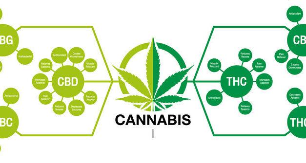 La production des cannabinoïdes dans le cannabis