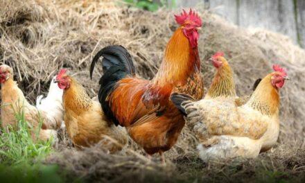 USA : du chanvre dans l'alimentation animale ?